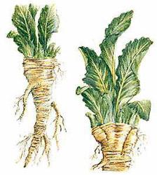 horseradish botanical