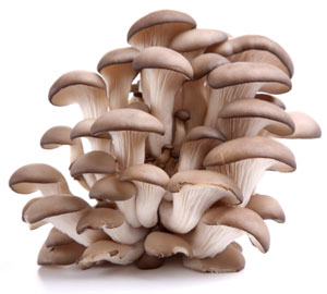 Oyster mushrooms can be wild harvested, but you can also find them in many grocery stores, or at a farmer's market.