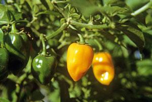 orange-habanero-yucatan