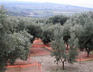olive_orchard_harvest_nets_italy