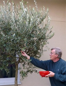 The author harvesting olives from his own tree.