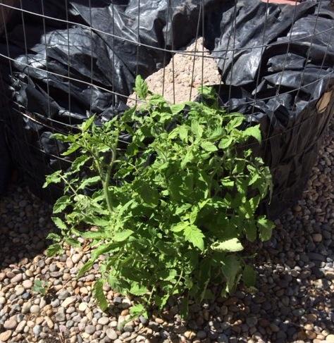 Compost Tomato