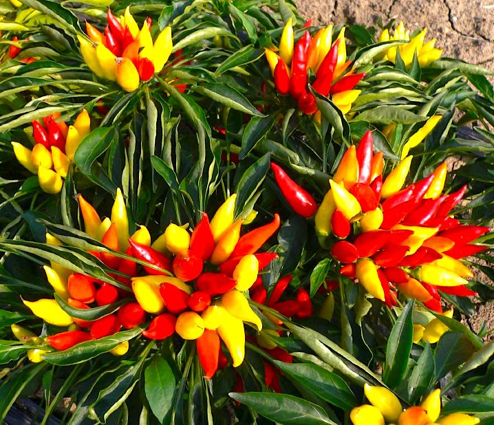 'Spagna' variety of ornamental chile.