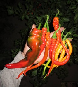 Harvesting Chilis at Night