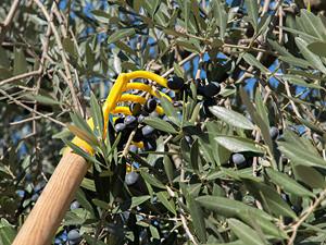 olive rake