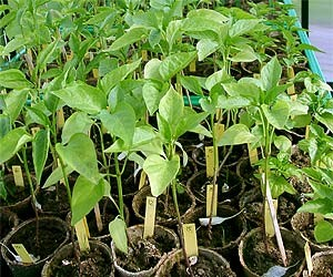 seedlings_6weeks