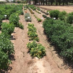 chile pepper plants