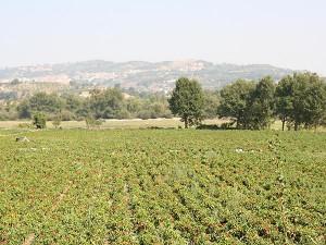 Peperoni di Senise fields