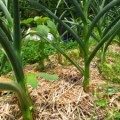 pepper plant mulch