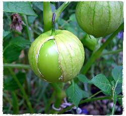 pepper garden tomatillos