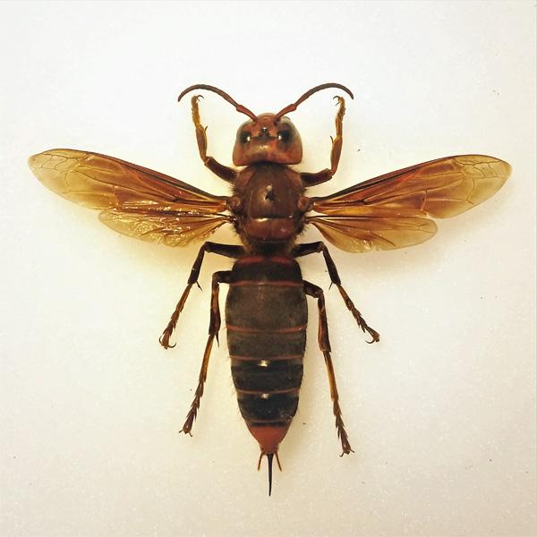 murder hornet munchies