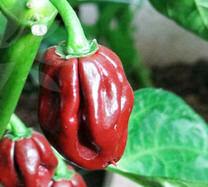congo pepper
