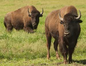 bison rib eye steak story