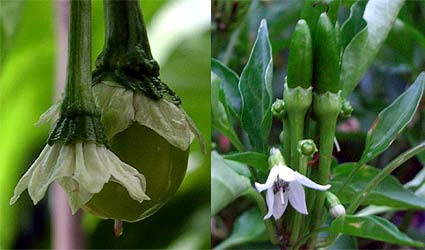 pepper yield
